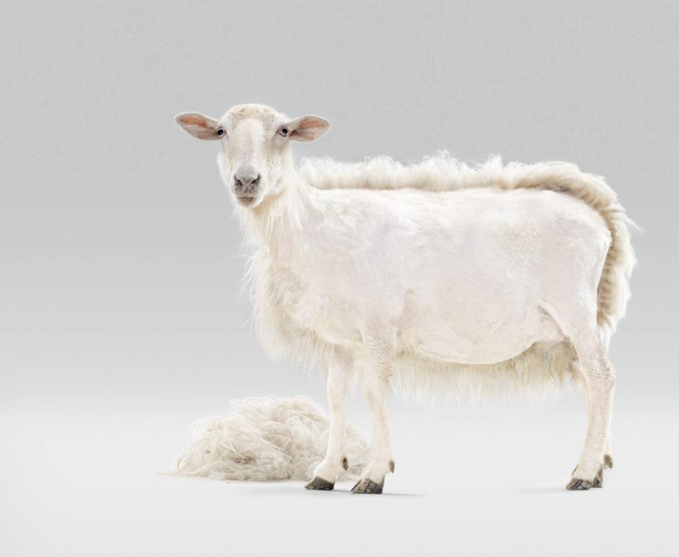 Campaña realizada junto con la agencia Publis para el periódico Deia en el que apare una oveja a medio esquilar- kontraluz